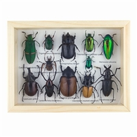 Lots O'Bugs Beetle Specimens