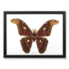 Giant Moth Specimens Framed