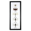 Dragonfly Specimens Framed